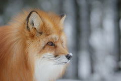 Red fox close-up Stock Images
