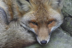 Red fox. Closeup of a curled up fox Royalty Free Stock Photography