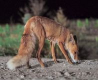 Red fox comes to the city at night royalty free stock photo