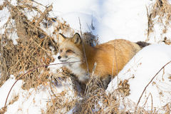 Red fox coming out of den Stock Photos