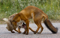 Red Fox conflict Stock Photography