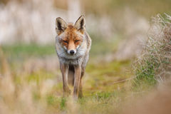 Red fox in countryside. Portrait of red fox walking in countryside Stock Photography