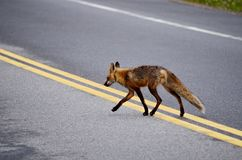 Red Fox crossing highway - stock photo. Red Fox crossing highway in natural wilderness habitat in Ontario, Canada Royalty Free Stock Photo