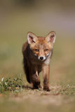 Red fox cub. A red fox cub posing in the dunes royalty free stock images