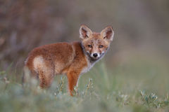 Red fox cub. A red fox cub posing in the dunes royalty free stock photography