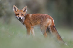 Red fox cub. A red fox cub posing in the dunes stock photo