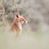 Red fox cub. A red fox cub posing in the dunes Stock Photos