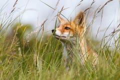 Red fox cub. Portrait of a red fox cub Royalty Free Stock Image