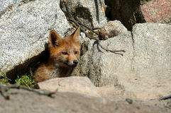 Red Fox cub. A red fox cub coming out of its den royalty free stock photo