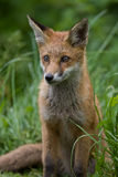 Red Fox cub. Alert young Red Fox cub Stock Photos