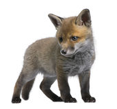Red fox cub (6 Weeks old)- Vulpes vulpes. In front of a white background Royalty Free Stock Photos