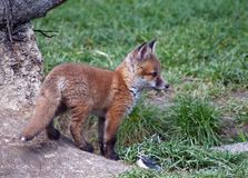 Red Fox Cub Royalty Free Stock Images