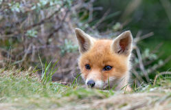 Red fox cub. Between the bushes Stock Images