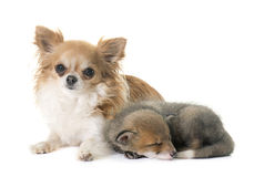 Red fox cub and chihuahua Stock Images