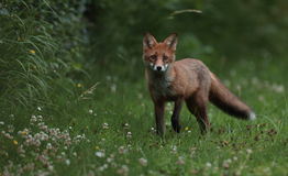 Red fox cub. Royalty Free Stock Images
