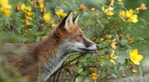 Red fox cub. Stock Photography