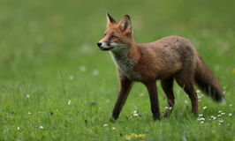 Red fox cub. Stock Images