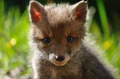 Red fox cub face Stock Photography