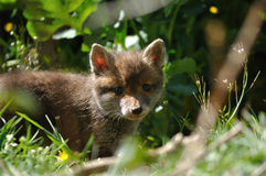 Red fox cub face Stock Image