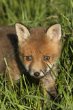 Red fox cub Stock Photography