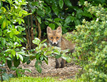 Red Fox Cub hiding Stock Photos