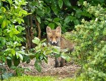 Red Fox Cub hiding Stock Photos