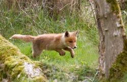 Red fox cub Royalty Free Stock Photos
