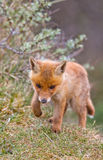 Red fox cub Royalty Free Stock Photos