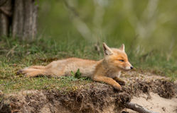 Red fox cub Stock Images