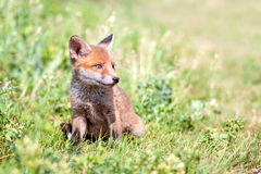 Red fox cub. Red fox cub in the meadow Stock Photos