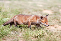 Red fox cub. Red fox cub in the meadow Stock Images