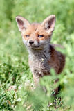 Red fox cub. Stock Photo