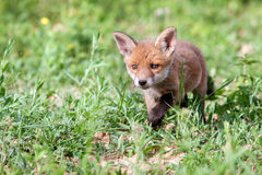 Red fox cub. Red fox cub in the meadow Royalty Free Stock Image