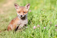 Red fox cub. Red fox cub in the meadow Royalty Free Stock Photos