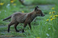 Red fox cub on meadow Royalty Free Stock Photo