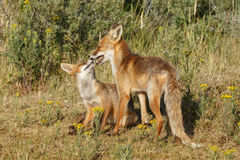 Red fox cub and mother Royalty Free Stock Photo