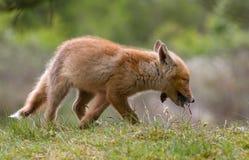 Red fox cub Stock Photo