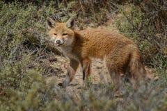 Red fox cub Stock Photos