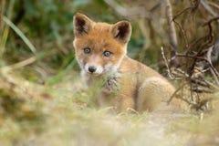Red fox cub Royalty Free Stock Photo