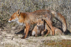 Red fox cub Stock Image