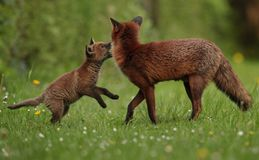Red fox cub playing with mother stock image