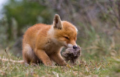 Red fox cub. Playing with a piece of fur Stock Photography