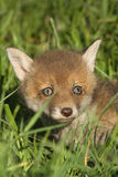 Red fox cub Royalty Free Stock Image