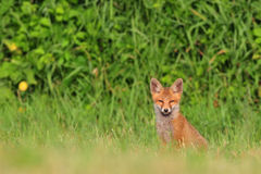 Red fox cub Royalty Free Stock Photography