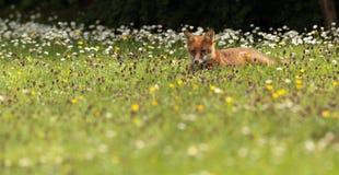 Red fox cub. Royalty Free Stock Photo
