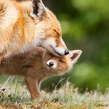 Red fox with a cub. Red fox and a cub in a sweet moment Royalty Free Stock Images