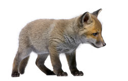 Red Fox Cub, Vulpes vulpes, 6 weeks old. Standing in front of white background, studio shot Royalty Free Stock Images