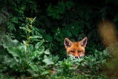 Free Red Fox Cub. Vulpes Vulpes. European Wildlife. Stock Image - 153705611
