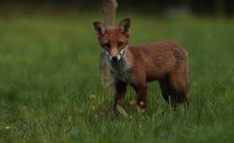 Red fox cub. Stock Image