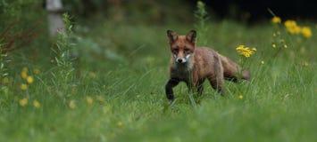 Red fox cub. Stock Photos